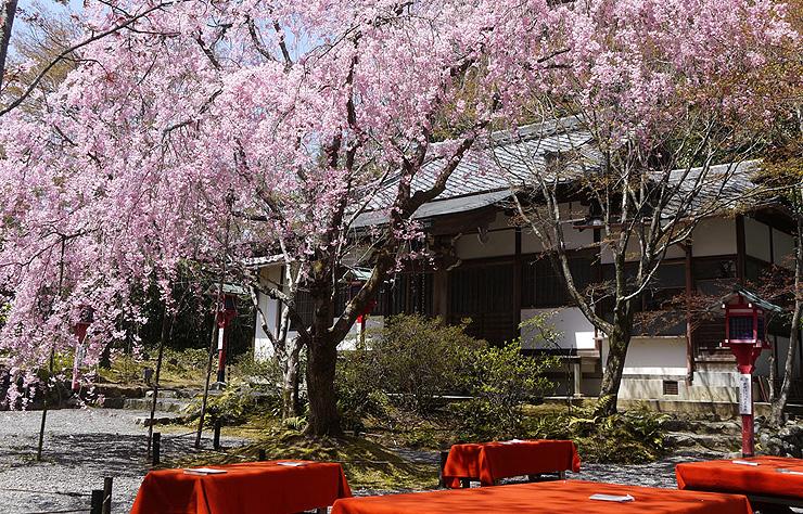 常照寺 桜の画像